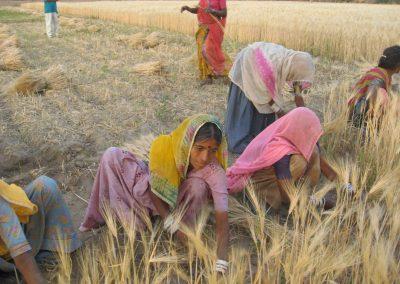 Harvest at Dhamli