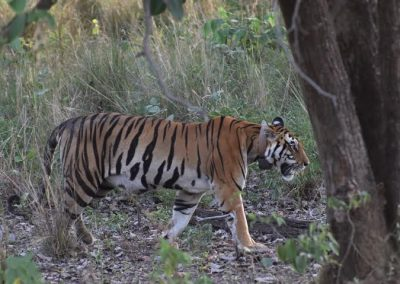 Tigress at Kanha with radio collar