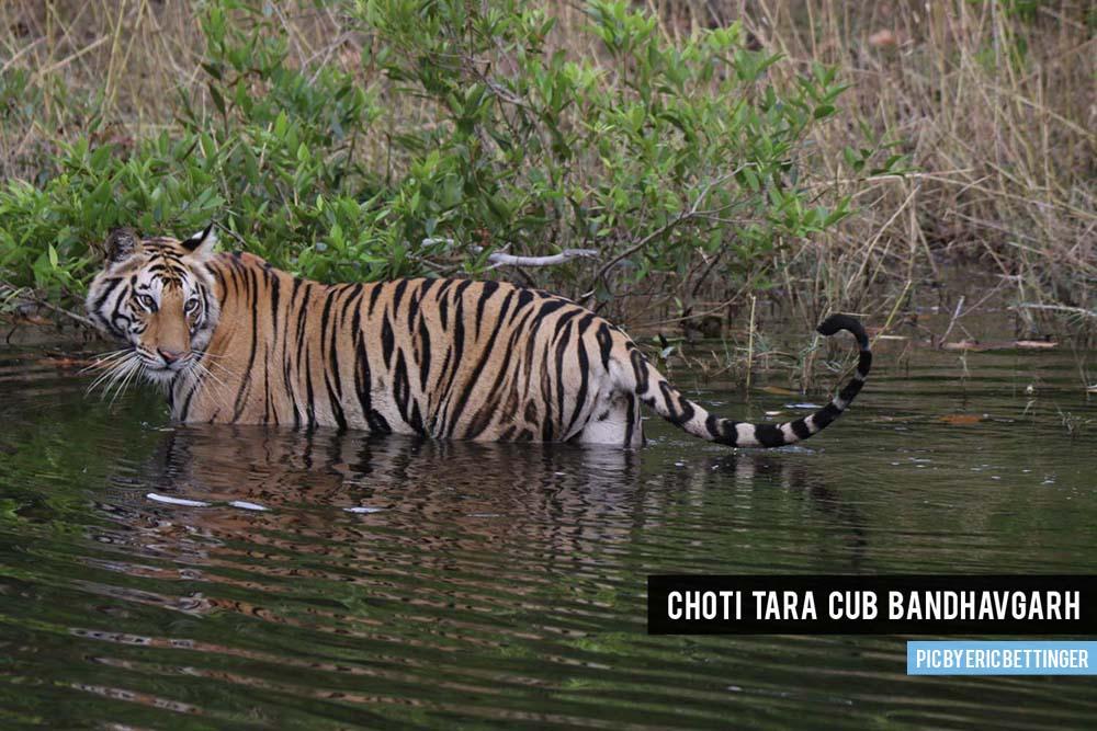 Choti Tara cub Bandhavgarh