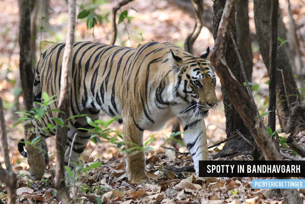 Spotty in Bandhavgarh