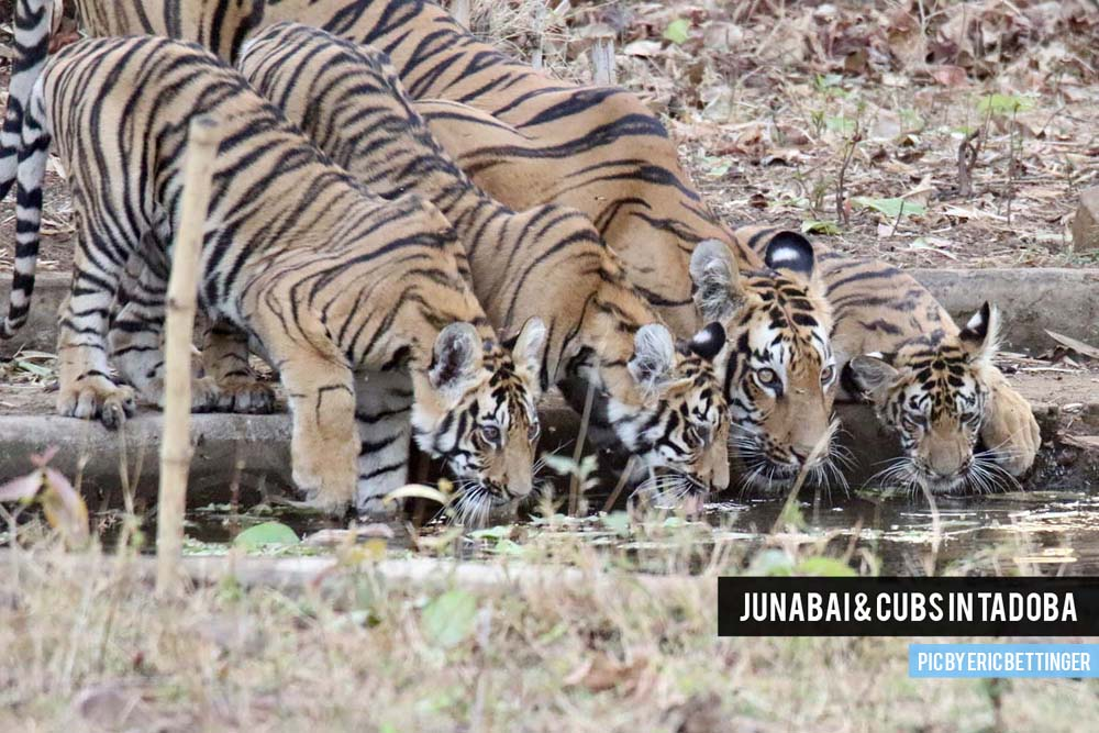 Junabai & cubs in Tadoba