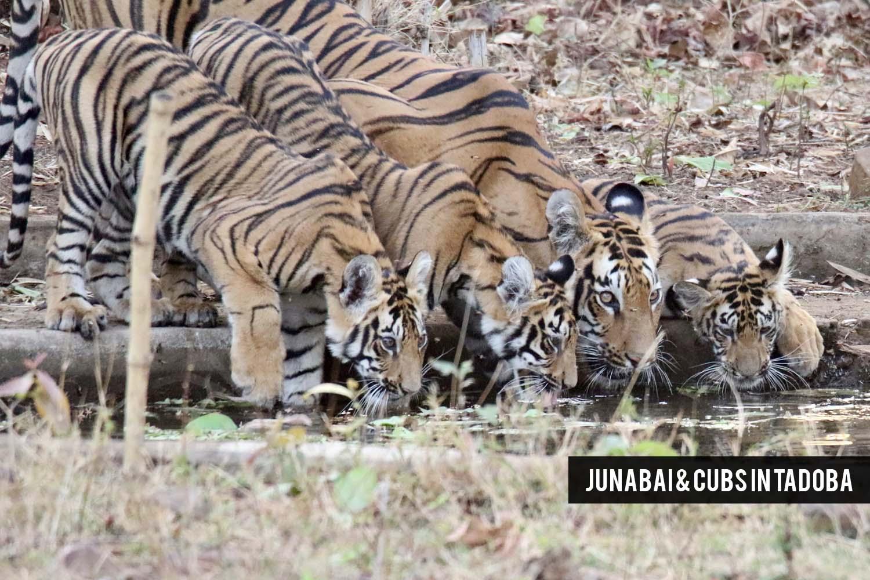 Junabai & cubs in Tadoba